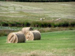 Berry landscapes - Straw bales, pond dotted with water lilies and pasture with sheeps