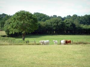 Berry landscapes - Pasture with cows, forest in background
