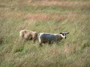Berry landscapes - Sheeps in a field