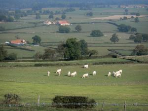 Bourbonnais landscapes - Herd of Charolaise cows in a meadow, farms, and meadows dotted with trees