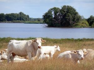La Brenne Regional Nature Park - Cows along the Blizon lake