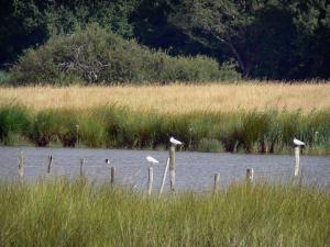 La Brenne Regional Nature Park - Reeds, birds perched on wooden posts, and lake