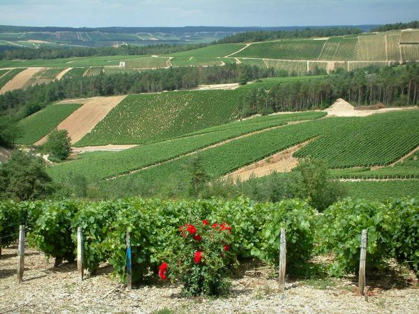 Champagne trail - Côte des Bar: rosebush (red roses), vines and hills covered with vineyards