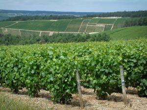 Champagne trail - Côte des Bar: vines, trees and hills covered with vineyards