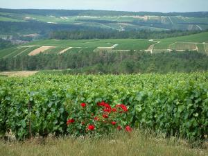 Champagne trail - Côte des Bar: herbs, rosebush (red roses), vines, trees and hills covered with vineyards