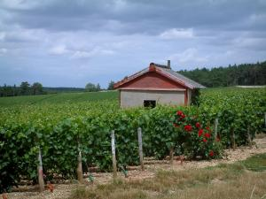 Champagne trail - Côte des Bar: road, rosebush (red roses) and hut in vineyards (vines)