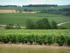 Champagne trail - Côte des Bar: vineyards and trees