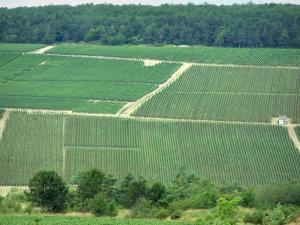 Champagne trail - Côte des Bar: trees, vineyards and forest