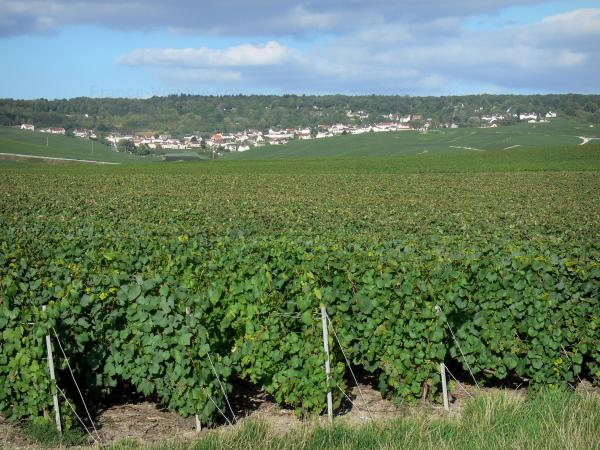 Champagne vineyards - Vineyards of the Reims Mountain (Champagne vineyards, in the Reims mountain Regional Nature Park), village and forest in background