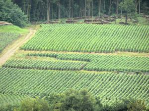 Champagne vineyards - Champagne vineyards: vine fields surrounded by trees