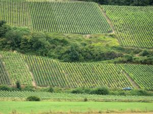 Champagne vineyards - Champagne vineyards: view of the vine fields