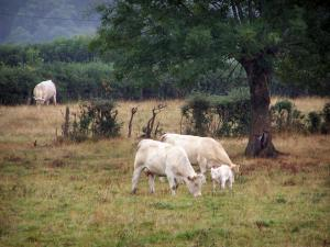 Charolaise cow - Charolais cows (white cows) in a meadow