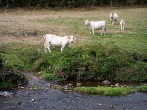 Charolaise cow - Charolais cows (white cows) on the edge of a river