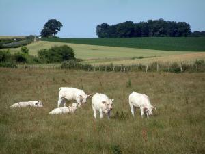 Charolaise cow - White cows in a pasture, fields and trees