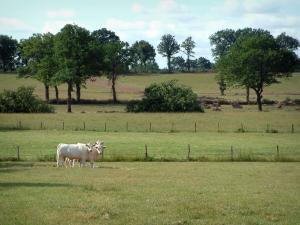 Charolaise cow - White cows in a pasture, trees and clouds in the sky