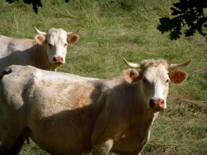 Charolaise cow - Two white cows