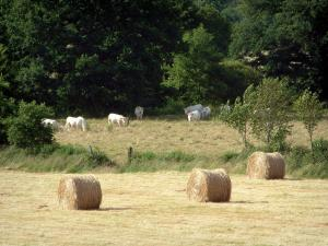 Charolaise cow - Straw bales, pasture with white cows and trees (forest)