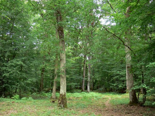 Châteauroux forest - State-owned Châteauroux oak: trees in the forest