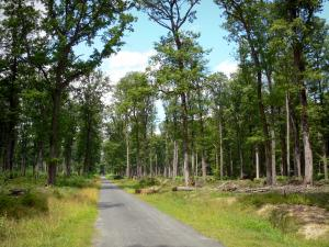 Châteauroux forest - State-owned Châteauroux oak: forest road lined with trees