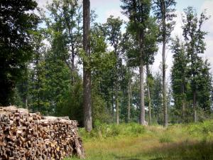 Châteauroux forest - State-owned Châteauroux oak: pile of cut wood, vegetation and forest trees