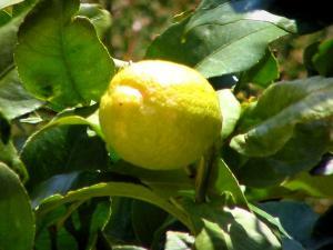 Citron De Menton   Citron Et Feuilles Du0027un Citronnier