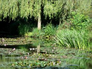 Claude Monet's house and gardens - Monet's garden, in Giverny: water garden: pond dotted with water lilies (bassin aux nymphéas), reeds, vegetation and willow