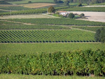 Cognac vineyards