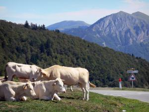 Col d'Aspin pass - At the pass, cows lying along the road, sign indicating to watch out for cows and Pyrenees mountains
