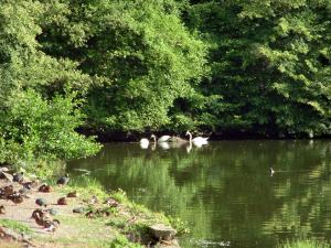 Commelles lakes - Shore, trees and fishpond with swans (water birds)