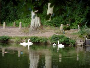Commelles lakes - Branches of a tree, fishpond with swans (water birds), shore, trunks and vegetation