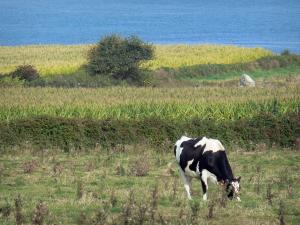 Cotentin coast - Caps road: Normandy cow in a meadow, fields and the Channel (sea); landscape of the Cotentin peninsula