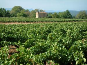 Côtes de Provence vineyards - Vines, hut, trees and hills covered with forests in background