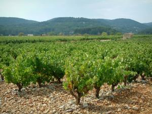 Côtes de Provence vineyards - Vines, hut and hills covered with forests
