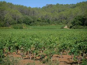 Côtes de Provence vineyards - Vines, vegetation and trees of a forest