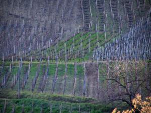 Côtes du Rhône vineyards - Vineyards and tree