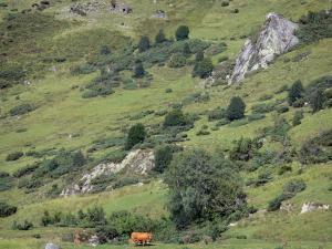Couserans - Cows in mountain pastures; in the Ariège Pyrenees Regional Nature Park
