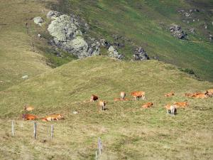 Couserans - Herd of cows in mountain pastures; in the Ariège Pyrenees Regional Nature Park