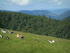 Crest road - Alpine pasture (hautes chaumes) with cows, forest and hills in background (Ballons des Vosges Regional Nature Park)