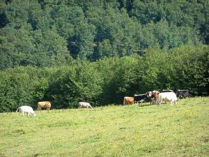 Crest road - Alpine pasture (hautes chaumes) with cows, forest in background (Ballons des Vosges Regional Nature Park)