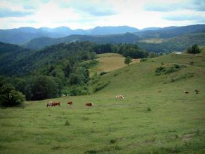 Crest road - Alpine pasture (hautes chaumes) with cows, forests and hills in background (Ballons des Vosges Regional Nature Park)