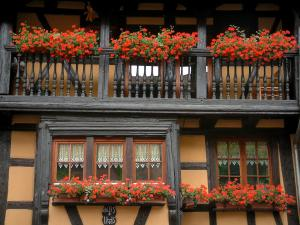 Eguisheim - Colourful half-timbered house decorated with geranium flowers