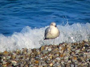 Étretat - Gull (sea bird), pebble beach, small wave and the Channel (sea)