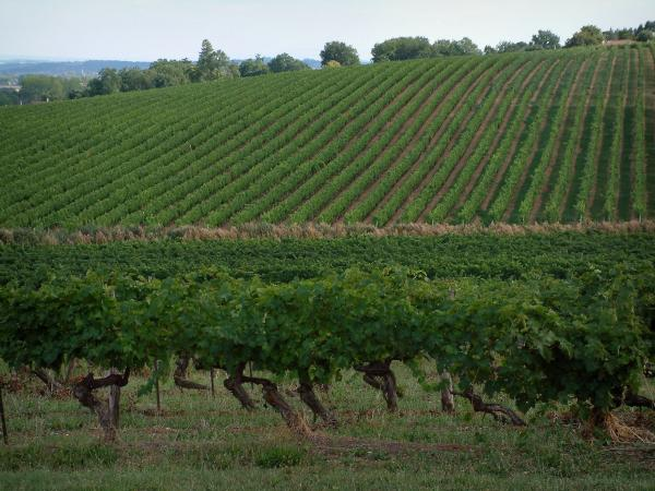 Gaillac vineyards - Vineyards and trees in background (Gaillac vineyards)