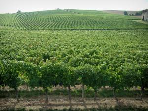 Gaillac vineyards - Vineyards (Gaillac vineyards)