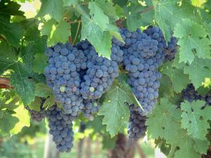Gaillac vineyards - Bunches of grapes of a vineyards (Gaillac vineyards)