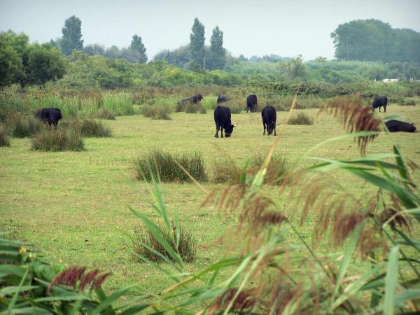 Gard Camargue - Little Camargue: reeds in the foreground, black bulls in a pasture and trees