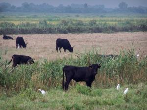 Gard Camargue - Little Camargue: black bulls, cattle egrets (white birds) and reeds in a meadow