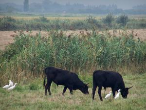Gard Camargue - Little Camargue: black bulls and cattle egrets (white birds) in a meadow, reeds in background