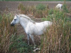 Gard Camargue - Little Camargue: white horse and reeds