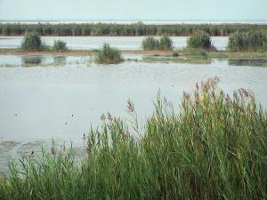 Gard Camargue - Little Camargue: reeds and pond